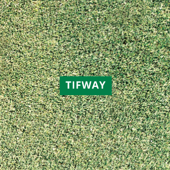 Tifway