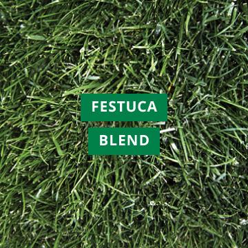 Festuca Blend